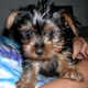 Beautiful Male And Female Tea-Cup Yorkie Puppies For Adoption