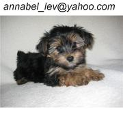 akc yorkie babies for adoption