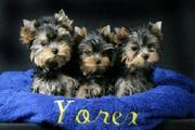 Lovely and adorable TeaCup Yorkie Puppies For Free Adoption