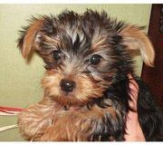 Cute Tea  Cup Yorkie Puppies For Free Adoption (1$)