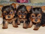 AFFECTIONATE TEACUP YORKIE PUPPIES AVAILABLE