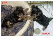 Adorable Yorkie Puppies  Free Adoption
