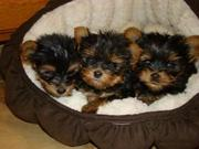 lovely and adorable teacup yorkshire puppies for adoption