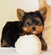 teacup yorkies for any ready home