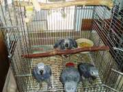 parrots and fertile parrot eggs for sale