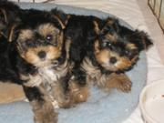 male and female teacup Yorkie puppies for adoption (TIKI AND BILLY )