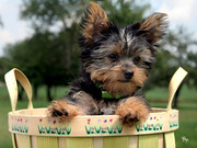 Top Quality Teacup Yorkie Puppies Available For Adoption