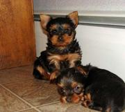 Lovely Tea Cup Yorkie Babies Ready For their new homes for free adopti