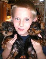 Sweet  teacup yorkie puppies for free adoption