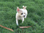AKC chihuahua puppies girl and boy cuties for you