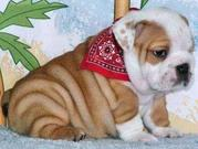lovely male and female English Bulldogs puppies for adoption