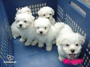 Maltese Puppies For Free Adoption - Yorkies