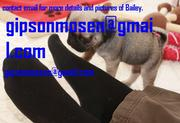 Beautiful AKC Female Pug Puppy for Rehoming