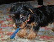 Talented Teacup Yorkie Puppy For Free Adoption