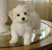 I have Two Maltese puppies to give it out for adoption