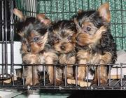 AKC Playful & Affectionate Yorkies Puppies Needs A Home