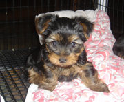 awesome  yorkie puppies for adoption