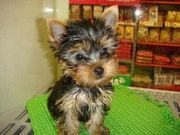 Adorable  Female Yorkie Puppy For Free  Home Adoption