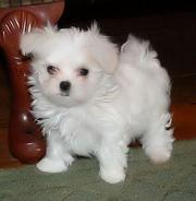 I have Lovely Maltese Puppies Ready For their new homes for free adopt