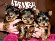 Talented cute yorkie puppies for free adoption