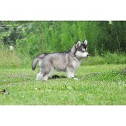 loving Siberian husky puppies for adoption