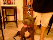 98-100% Blue american pitbull terriers available now!