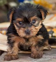 CUTE MALE AND FEMALE TEACUP YORKIE PUPPIES FOR ADOPTION