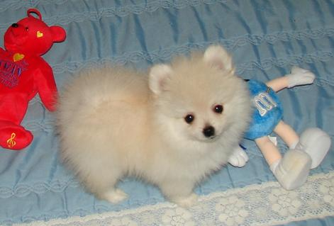 pomeranian puppies for sale in ohio
