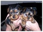 Adorable Male And Female Yorkie  Puppies Ready For A New Home.