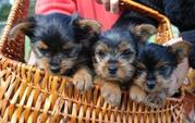 male and female Yorkie puppies for free adoption (macktracy89@yahoo.co