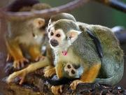 Outstanding Squirrel Monkeys for adoption