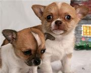 Lovely and Adorable Chihuahua puppies for adopion