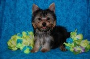 Cute Yorkie puppies need New Home