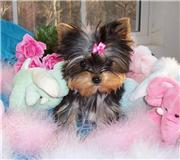 Cute And Amazing Male And Female Teacup Yorkie Puppies For Adoption
