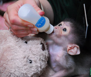 Capuchin monkeys for adoption