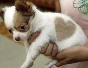 cute male and female chihuahua puppies