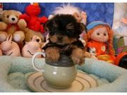 Male And female Yorkie Puppies For Adoption