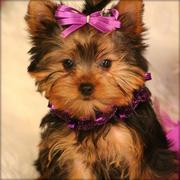 Adorable TeaCup Yorkie pups for free adoption(lovelyhome2@gmail.com)