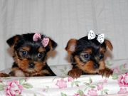Teacup Yorkie Puppies For re homing
