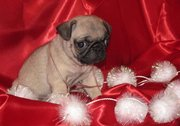 lovely pug puppies for good home