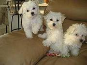 AKC registered maltese puppies
