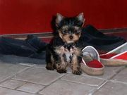X Mas Yorkie Puppies For Free Adoption…..