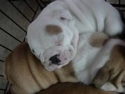 English Bulldog Puppies Available for adoption.