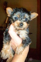 Yorkshire Terrier Females . For Sale NE OHIO Yorkie Puppi