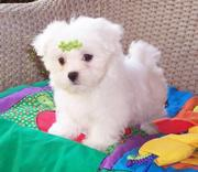 Adorable Male And Female Maltese Puppies For Free Adopotion