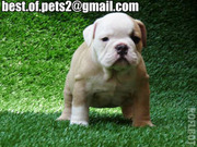 Cute and Adorable bulldog Puppies For Adoption